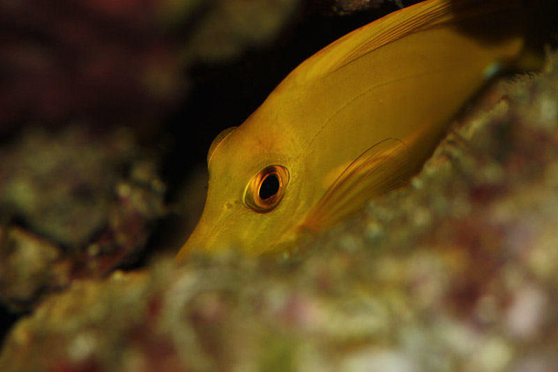 Yellow tang zebrasoma flavescens for Yellow saltwater fish