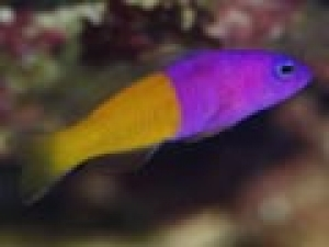 Pseudochromis paccagnellae